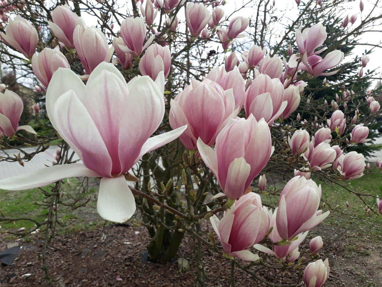 magnolia kwiecien plecien